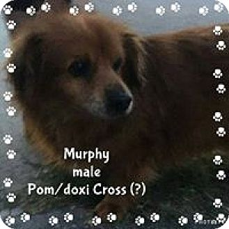 Pomeranian Mix Dog for adoption in Barriere, British Columbia - Murphy