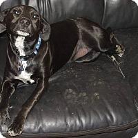 Adopt A Pet :: Trixie - Blue Bell, PA