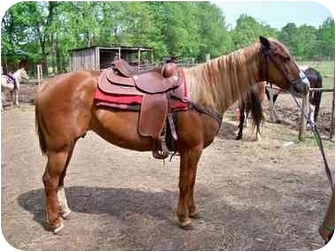 Quarterhorse for adoption in Greeneville, Tennessee - Estrella