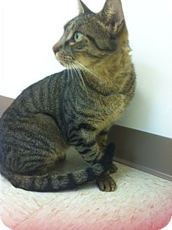 Domestic Shorthair Cat for adoption in Trevose, Pennsylvania - Jeeter