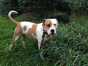 American Staffordshire Terrier Mix Dog for adoption in New Richmond,, Wisconsin - Tucker