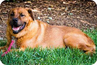 Labrador Retriever/Chow Chow Mix Dog for adoption in Matthews, North Carolina - Sugar Bear Adoption Pending