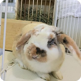 Mini Lop Mix for adoption in Moneta, Virginia - Sherlock