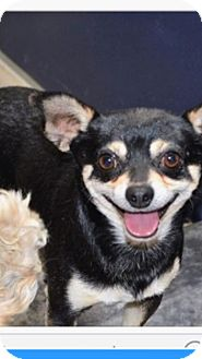 Chihuahua Mix Dog for adoption in Winchester, California - Enzo