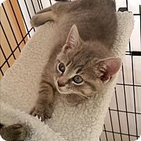 Adopt A Pet :: Sabita (Medford Lakes Kitten) - Medford, NJ