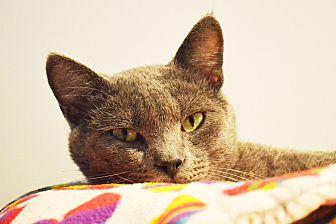 Domestic Shorthair Cat for adoption in Lincoln, Nebraska - Morrie