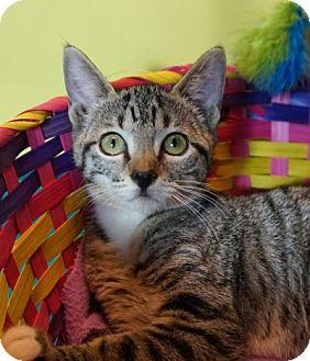 Domestic Shorthair Kitten for adoption in Houston, Texas - Miss Howard