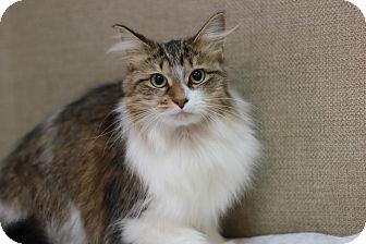 Domestic Longhair Cat for adoption in Midland, Michigan - Dandelion