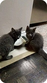 Russian Blue Kitten for adoption in THORNHILL, Ontario - McCoy