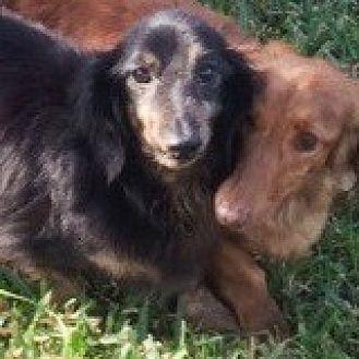 Dachshund Dog for adoption in Houston, Texas - Durango Delta