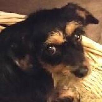 Dachshund Dog for adoption in Houston, Texas - Ralphie Riviera