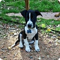 Adopt A Pet :: Veeder - Houston, TX