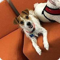 Adopt A Pet :: Juno - Houston, TX