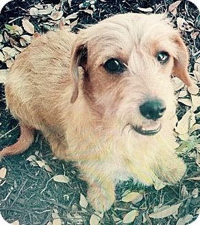 Dachshund Puppy for adoption in Pearland, Texas - Tigger