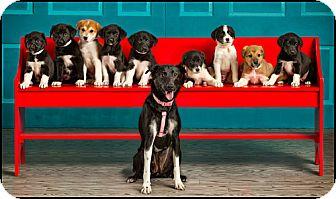 Labrador Retriever/Great Pyrenees Mix Puppy for adoption in Owensboro, Kentucky - Puppies!