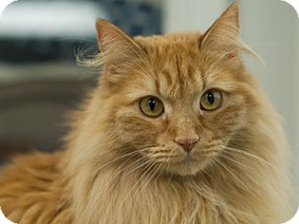 Domestic Longhair Cat for adoption in Great Falls, Montana - Lucky Lil