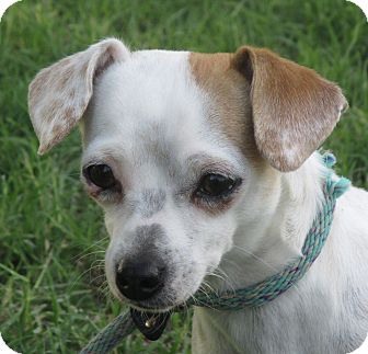 Chihuahua/Terrier (Unknown Type, Small) Mix Dog for adoption in Turlock, California - Bailee