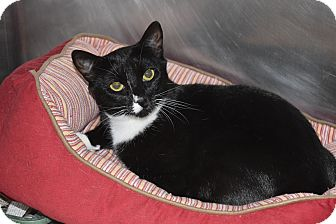 Domestic Shorthair Cat for adoption in Bay Shore, New York - Cricket