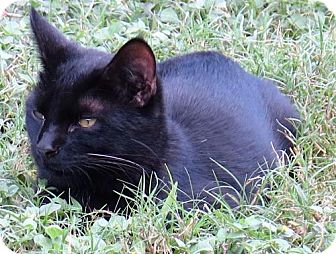Domestic Shorthair Cat for adoption in Gonzales, Texas - Carbon