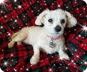 Bichon Frise Dog for adoption in Tulsa, Oklahoma - Adopted!!Claire - IL