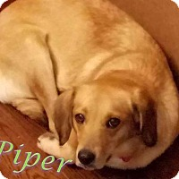 Adopt A Pet :: Piper - WESTMINSTER, MD