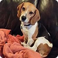 Adopt A Pet :: Dexter - greenville, SC