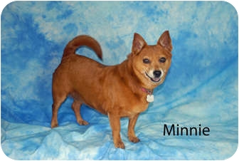Dachshund/Pomeranian Mix Dog for adoption in Ft. Myers, Florida - Minnie
