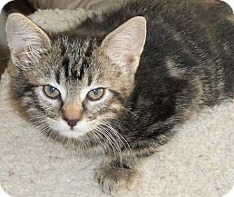 Domestic Shorthair Kitten for adoption in North Highlands, California - Rosa