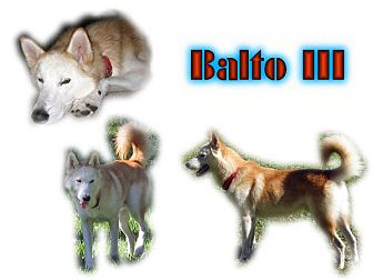 Siberian Husky Dog for adoption in Seminole, Florida - Balto III