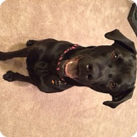 Adopt A Pet :: Holly - Hagerstown, MD