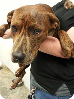 Boxer Mix Dog for adoption in Paducah, Kentucky - Hondo