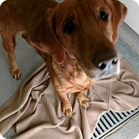 Adopt A Pet :: GINGER - Sandusky, OH