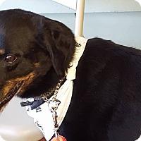 Labrador Retriever/Rottweiler Mix Dog for adoption in Edgewater, New Jersey - Rocky