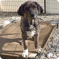 Adopt A Pet :: Brad Preppy Solis - Wakefield, RI
