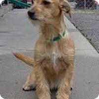 Adopt A Pet :: Tulip - Staunton, VA