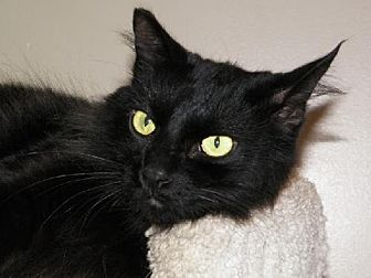Domestic Longhair Cat for adoption in Spring Valley, California - Bea