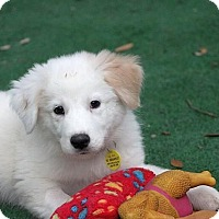 Adopt A Pet :: Scrabble - Austin, TX