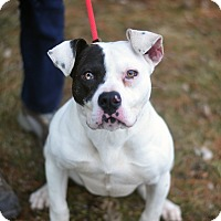 Adopt A Pet :: Bonnie - HEART SHAPED NOSE - Springfield, IL