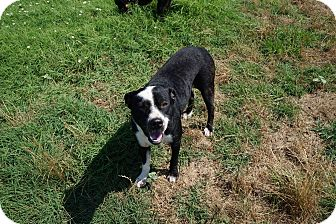 Boxer/Labrador Retriever Mix Dog for adoption in Fort Worth, Texas - Buddy