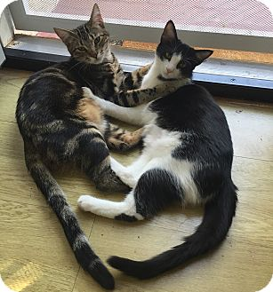 Domestic Shorthair Cat for adoption in Los Angeles, California - Sandwich