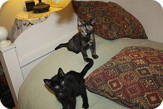 Domestic Shorthair Kitten for adoption in St. Louis, Missouri - Kappy