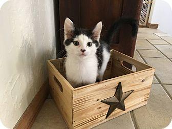 Domestic Shorthair Kitten for adoption in Salt Lake City, Utah - Leo