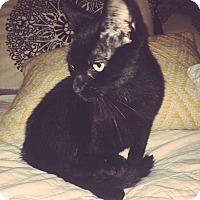 Domestic Shorthair Cat for adoption in Lithia, Florida - Xena