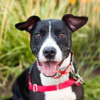 Adopt A Pet :: Bowser - Peoria, IL