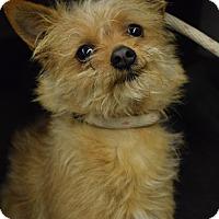 Adopt A Pet :: Brownie - Bay Shore, NY