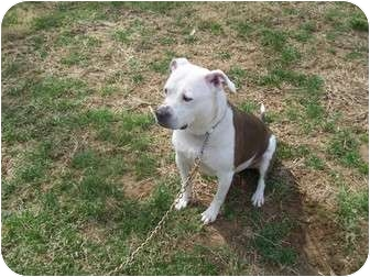 Pit Bull Terrier Mix Dog for adoption in Earleville, Maryland - Sheba