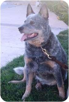 Cattle Dog Dog for adoption in El Cajon, California - Captain