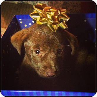 Labrador Retriever Mix Puppy for adoption in Torrance, California - STUBBS