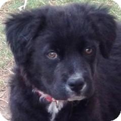 Cattle Dog/German Shepherd Dog Mix Puppy for adoption in Gilbert, Arizona - Buddy Guy