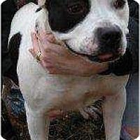 Adopt A Pet :: Molly - Harriman, NY